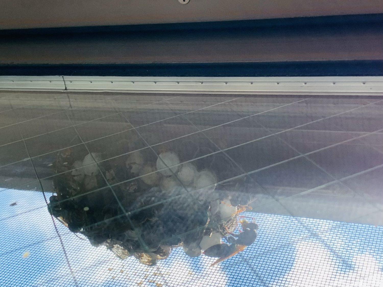網戸と窓の隙間に作られたアシナガバチの蜂の巣